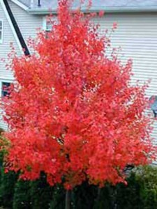 Acer rubrum 'October Glory' / Rot-Ahorn 'October Glory'