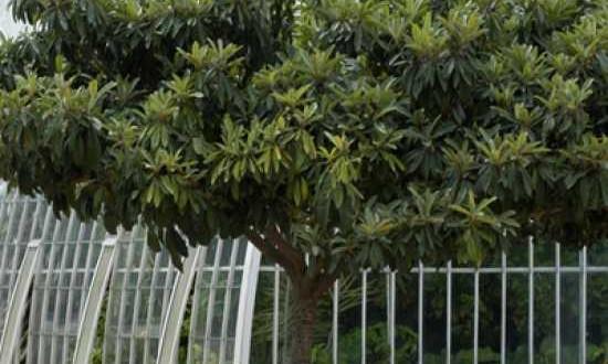 Wollmispeln / Eriobotrya japonica