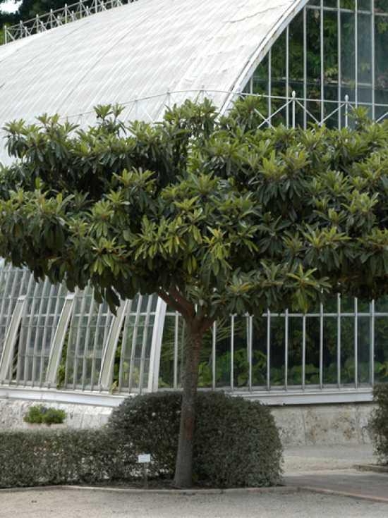 Eine von zwei japanische wollmispeln entwickelt sich nicht so gut was k nnen die ursachen sein - Japanische gartenpflanzen ...