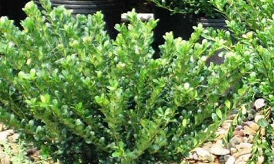 Ilex Crenata Dark Green