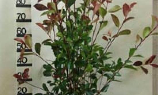 Rindenmulch ist für frisch gepflanzte Sträucher - wie hier ide Glanzmispel - ein guter Winterschutz