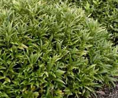 Sarcococca hookeriana humilis / Himalaya-Schleimbeere / Fleischbeere