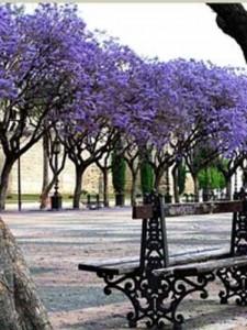Jacaranda mimosifolia / Palisanderholzbaum - als freistehendes Gehölz nicht optimal geeignet