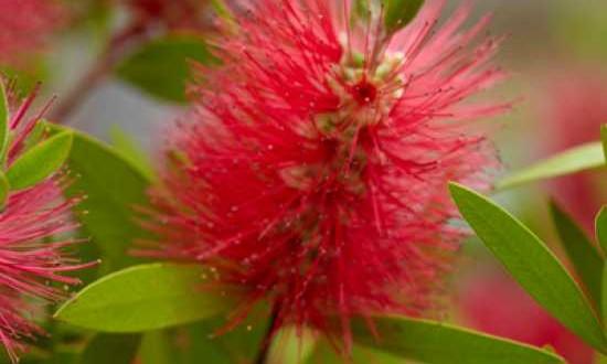 Callistemon citrinus / Karminroter Zylinderputzer - wunderschöne Pflanze, aber nicht komplett winterhart