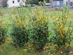 Kirschlorbeer Herbergii bekommt gelbe Blätter