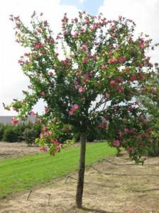 Hibiscus syriacus 'Woodbridge' / Garten-Eibisch 'Woodbridge' / Strauch-Eibisch 'Woodbridge' - ein schöner Hochstamm mit toller Blüte