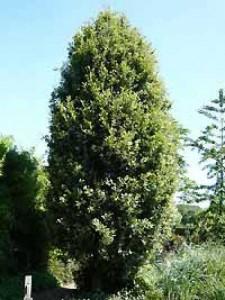 Quercus turneri 'Pseudoturneri' / Wintergrüne Eiche - ein schöner, immergrüner Laubbaum