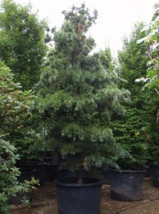 Pinus parviflora 'Glauca' / Blaue Mädchen-Kiefer