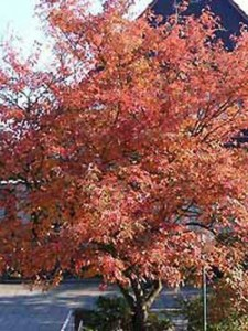 Amelanchier lamarckii / Kupfer-Felsenbirne - mit ein paar Tricks kann man die Herbstfärbung beeinflussen
