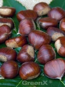 Die Castanea sativa 'Bouche de Betizac' / Esskastanie 'Bouche de Betizac' liefert meist schon nach 2 Jahren die erste Ernte