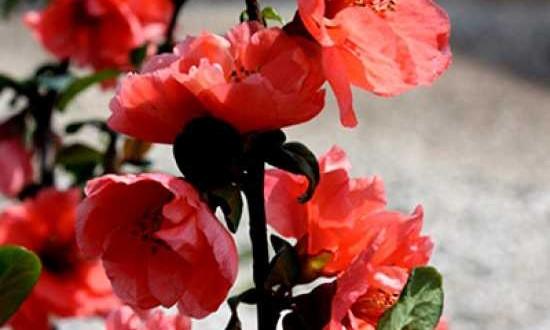 Chaenomeles speciosa 'Hotfire'® / Zierquitte 'Hotfire'® - als Wallbepflanzung geeignet und gute Nahrungsquelle für Insekten