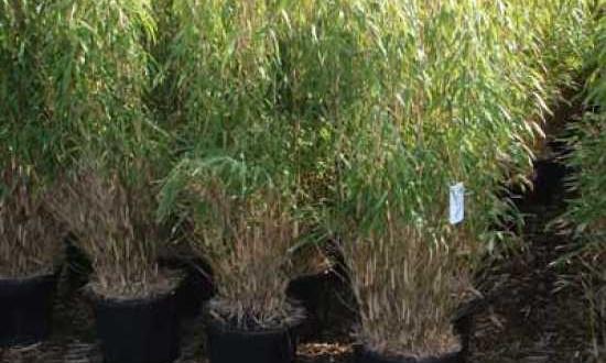 Fargesia murielae 'Simba' / Gartenbambus 'Simba' - pflanzbar, wenn der Boden frostfrei ist