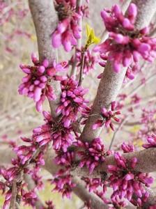 Blüte des Judasbaum / Cercis Canadiensis - wird an windigen Standorten vielleicht nicht ausgebildet