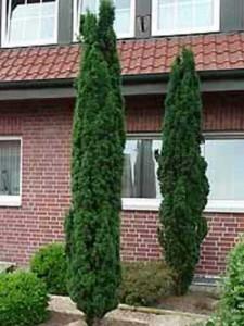 Taxus baccata 'Fastigiata Robusta' / Schmale Säulen-Eibe - behält auch im Alter die Säulenform