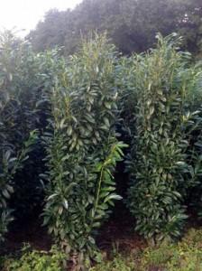 Kirschlorbeer - wie hier der Prunus Genolia - kann ab März / April gedüngt werden