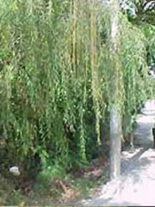 Salix babylonica 'Pendula' / Babylonische Trauer-Weide - auch für extrem feuchte Standorte gut geeignet