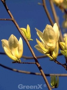 Magnolia brooklynensis 'Yellow River' / Magnolie 'Yellow River' - für eine Magnolie eher schmalwüchsig