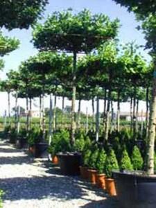Liquidambar styraciflua 'Dachform/Dachspalier' / Amberbaum - auch für Fußgängerzonen gut geeignet