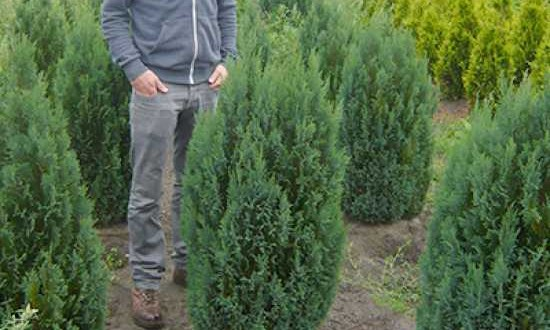 Chamaecyparis lawsoniana 'Ellwoodii' / Blaue Kegelzypresse / Blaue Mooszypresse - auch für Hecken geeignet