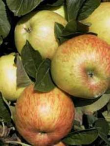 Gerade Obstgehölze - wie hier der Apfelbaum Dülmener Rose - belohnen einen Rückschnitt mit reicher Ernte