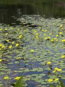 Nuphar lutea / Gelbe Teichrose / Heimische Mummel - kann sogar in bis zu 2m tiefem Gewässer wachsen