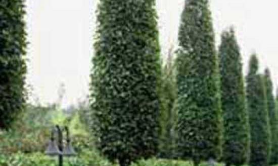 Carpinus betulus 'Frans Fontaine' / Säulen-Hainbuche 'Frans Fontaine' - bietet guten Sichtschutz