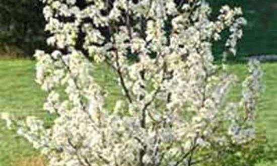 Pyrus calleryana 'Chanticleer' / Chinesische Wild-Birne 'Chanticleer'