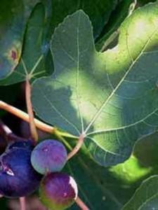 Ficus carica / Echter Feigenbaum / Feige - an besten als Kübelpflanze geeignet