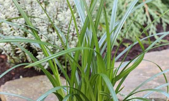 Carex foliosissima 'Irish Green' / Teppich-Japan-Segge