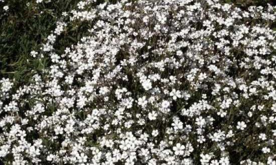 Gypsophila repens / Polster-Schleierkraut - gut als Unterpflanzung für das Rosen im Kübel geeigent