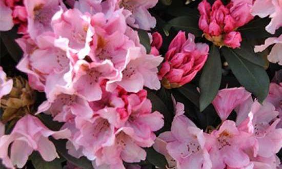 Rhododendron yakushimanum 'Bashful' / Rhododendron 'Bashful' - auch für etwas sonnigere Standorte geeignet
