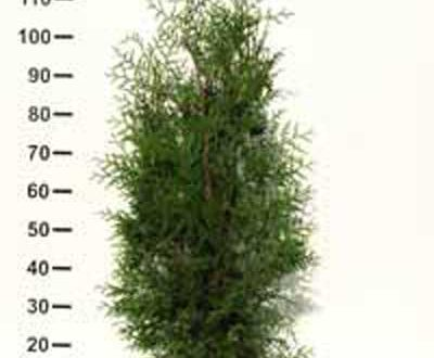 Thuja occidentalis 'Brabant' / Lebensbaum 'Brabant' 80-100 cm Container