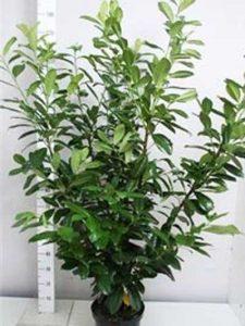 Prunus laurocerasus 'Novita' / Kirschlorbeer 'Novita'