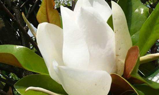 Magnolia grandiflora 'Galissonière' / Großblütige Magnolie 'Galissonière' - eine der schönsten, immergrünen Gartenpflanzen