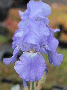 Es könnte bspw. die Iris barbata-elatior 'Harbor Blue' / Hohe Bart-Schwertlilie 'Harbor Blue' sein
