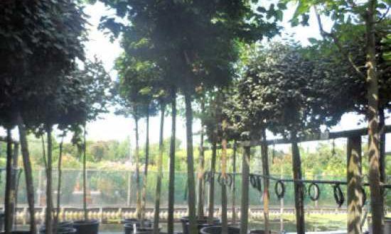 Quercus palustris 'Green Dwarf' / Kugelsumpfeiche 'Green Dwarf' / Nadel-Eiche 'Green Dwarf' - benötigt nur wenig Rückschnitt