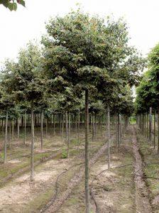Tilia cordata 'Green Globe' / Kugel-Winter-Linde - als Kübelpflanze für eine Terrasse gut geeignet