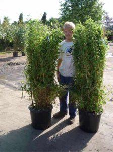 Fargesia murielae 'Jumbo' / Gartenbambus 'Jumbo' 150-175 cm Container