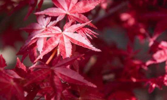 Acer palmatum 'Deshojo' / Japanischer Ahorn / Fächer-Ahorn 'Deshojo' könnte die gesuchte Ahorn-Sorte sein