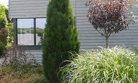 Pinus nigra 'Fastigiata' / Säulenschwarzkiefer / Schwarz-Kiefer 'Fastigiata'
