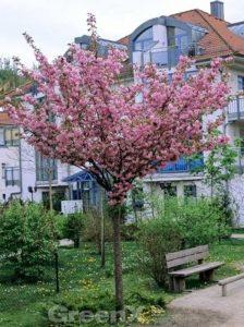 Prunus serrulata 'Kanzan' / Japanische Nelken-Kirsche - liebt frischen und nährstoffreichen Boden