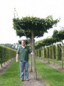 Carpinus Betulus Dachspalier - schnittverträglicher Baum mit schöner Krone in Dachform