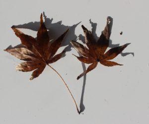 Welche Ahorn-Sorte hat solche Blätter?