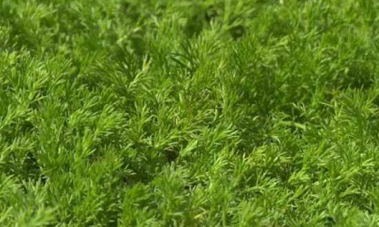 Chamaemelum nobile 'Treneague' / Römische Teppich-Kamille