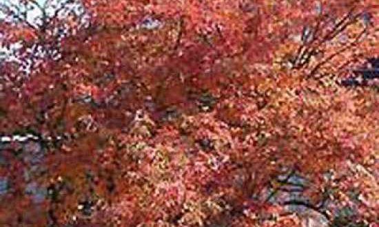Amelanchier lamarckii / Kupfer-Felsenbirne - Pilzbefall kann Absterben von Triebspitzen zur Folge haben