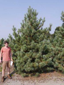 Pinus sylvestris 'Norske Typ' / norwegische Kiefer