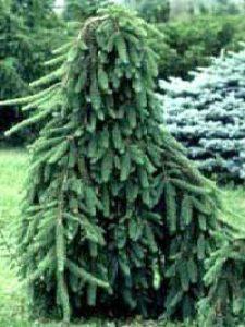 Picea abies 'Frohburg' / Hänge-Fichte 'Frohburg'