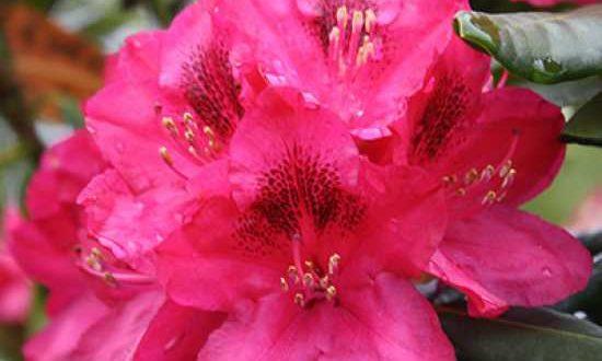 Rhododendron Hybride 'INKARHO Nova Zembla' / Rhododendron 'INKARHO Nova Zembla' - kalktolerant und besonders widerstandfähig