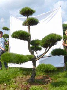 Pinus nigra ssp. nigra / Kiefer-Gartenbonsai - mit regelmäßiger Bearbeitung kann die Form erhalten werden