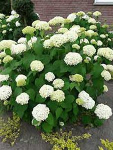 Hydrangea arborescens 'Annabelle' / Schneeball-Hortensie 'Annabelle' - kann sonnige bis schattige Standorte vertragen